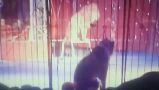 Un lion attaque une dresseuse en Egypte