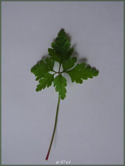 Géranium herbe à Robert