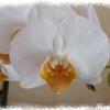 Phalaenopsis_blanc_coeur_jaune_fleur_2012