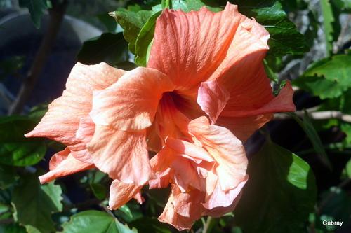 Mes fleurs de mon hibiscus