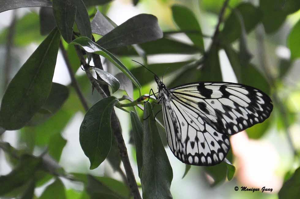 La Nymphe (Ideopsis juventa)