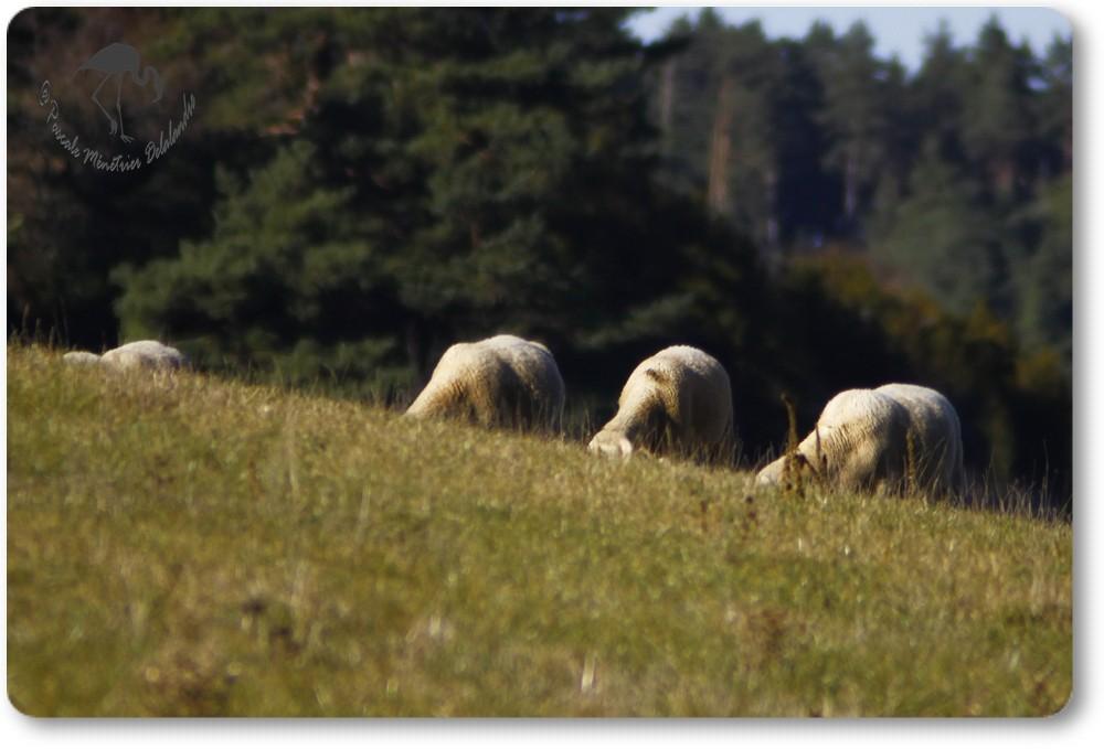 Quelques moutons trop occupés pour relever la tête... (Lozère)