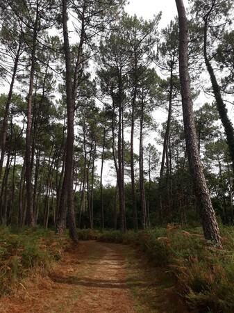 Au milieu des pins