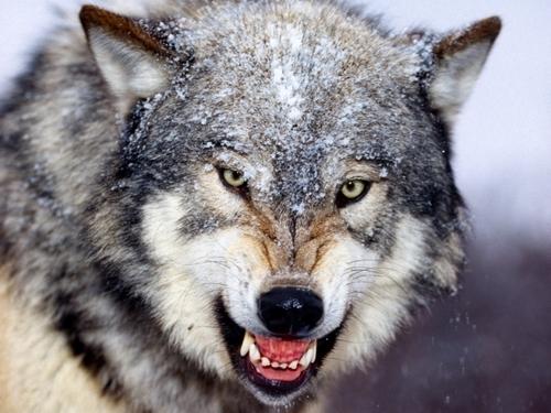 Les loups (Jack London)