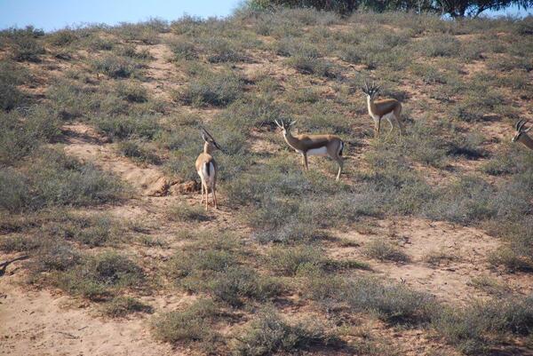 Encore des gazelles