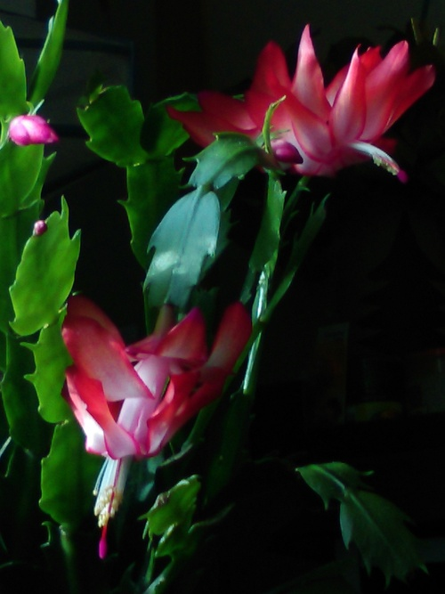 Le cactus a fait huit fleurs