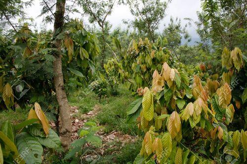 Sao Tomé L'île au chocolat