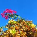 Rencontre avec un bougainvillée sur ciel d'azur ! - Photo : Karin