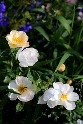 Les Roses de Warren : Silken Touch