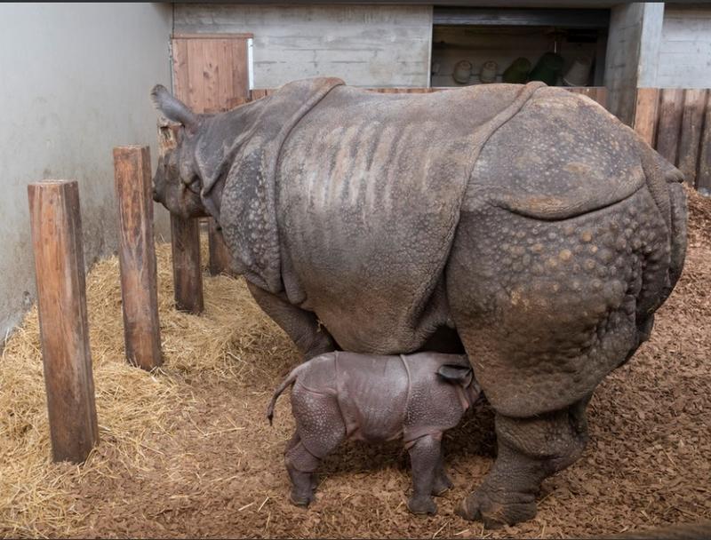 Naissance d'un rhinocéros indien au zoo de Bâle