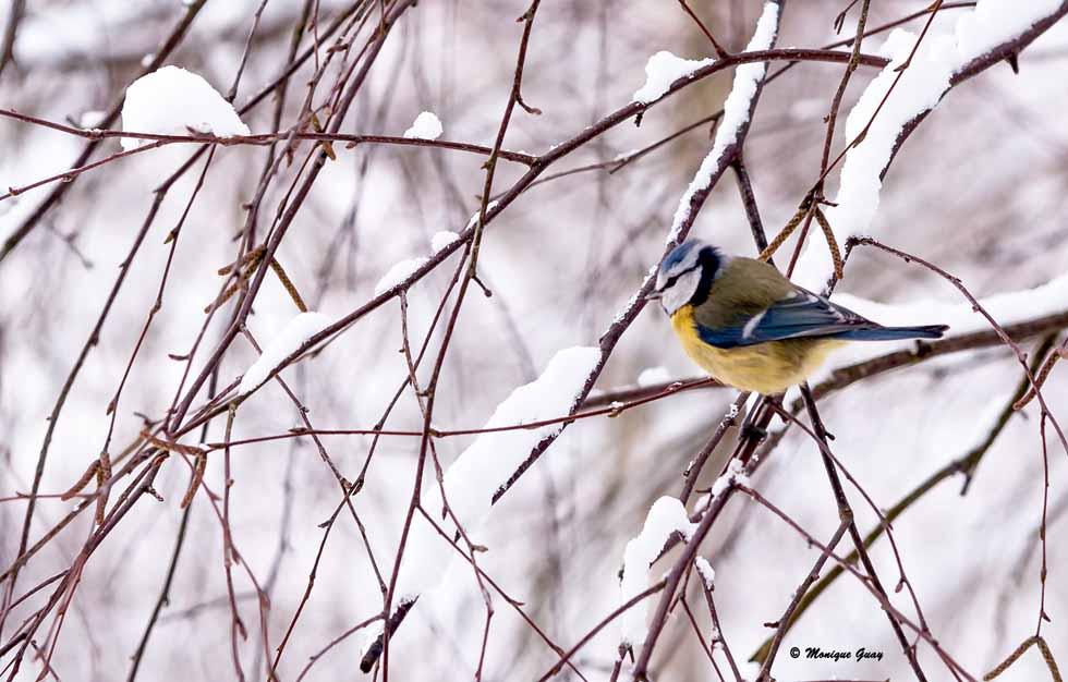 Mésange bleue dans la neige