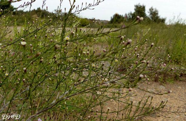 Shymphyotrichum squamatum - Aster squamatus  -  aster écailleux