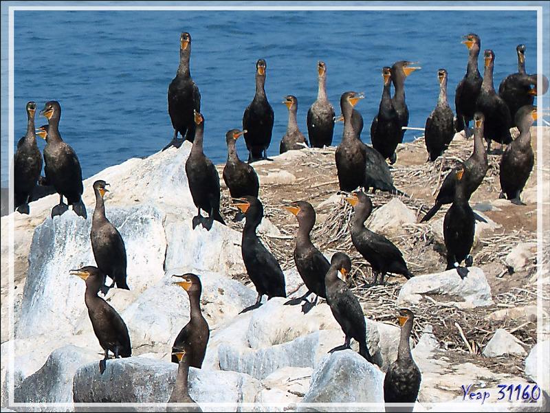 La balade se termine avec le retour à Gananoque après avoir navigué au milieu des Thousand Islands (Les Mille-Îles) et d'avoir observé des centaines de cormorans à aigrettes - Ontario - Canada
