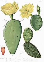 250px-Opuntia12_filtered.jpg