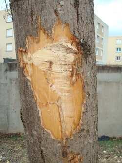 --- Blessure majeure sur un arbre rue L. Bouvat à Crest - comment va circuler la sève ? Photo André Oddon 11 02 17 ---