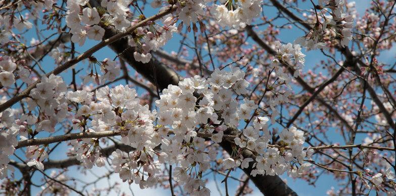 * L'ENCRIER * «  Sakura »