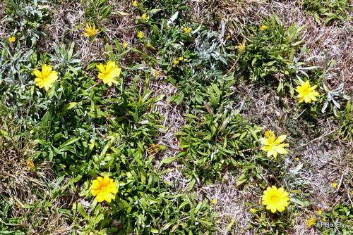 Les gazanias sont fleuris
