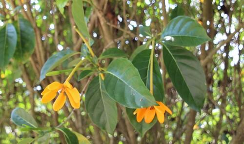 Fleurs de Thaïlande (4)