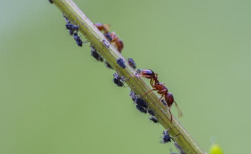 Les fourmis amies des pucerons