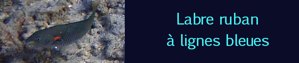 labre ruban à lignes bleues
