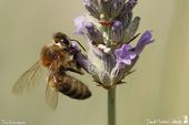 abeille mellifère ♀