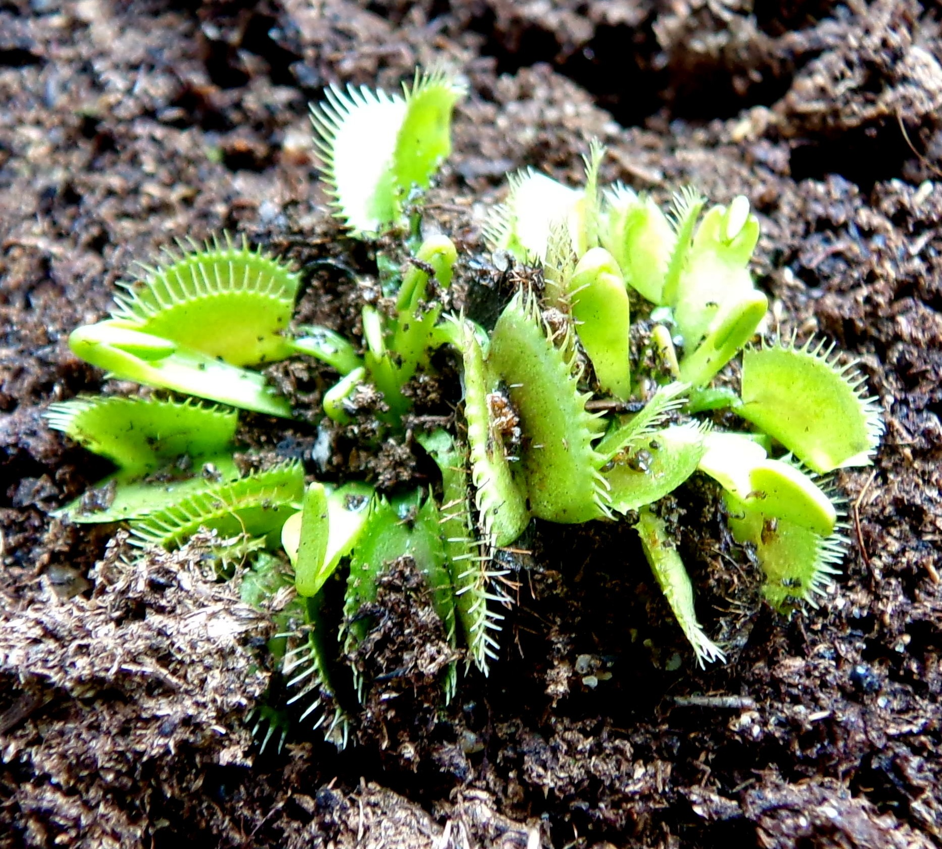 plante carnivore 13 lettres