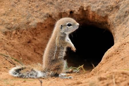 Spermophile du Cap (Xerus inauris). Photo prise à Mata Mata dans le parc transfrontalier de Kgalagadi, Afrique du Sud Banque d'images - 14964312