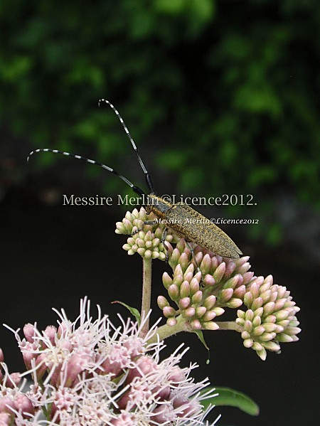 Agapanthia-dahli--Cerambicidae--Coleopteres---longicornes.jpg