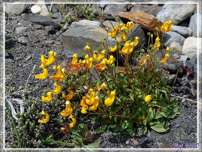 Chausson de Notre Dame, Zapatito de Nossa Senhora, Capachito (Calceolaria sp) - Parque de Torres del Paine - Patagonie - Chili