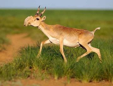 Une antilope à gros nez ...
