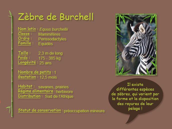 Zèbre de Burchell