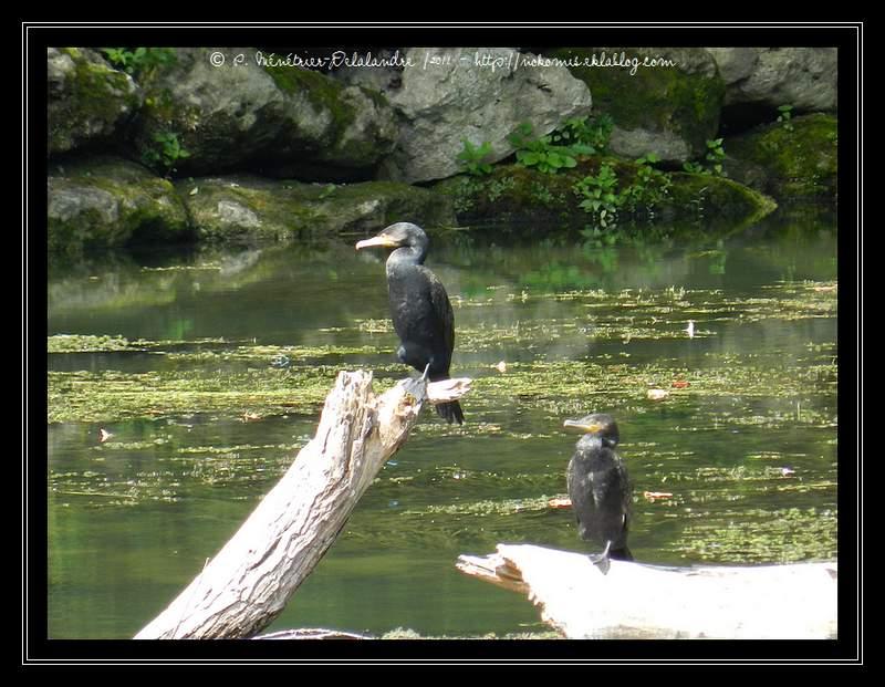 Cormorans (Lognes - Seine et Marne)