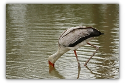 Tantale ibis - Sigean