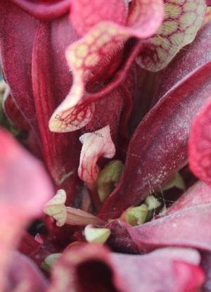 Plante Carnivore Sarracenia Purpurea