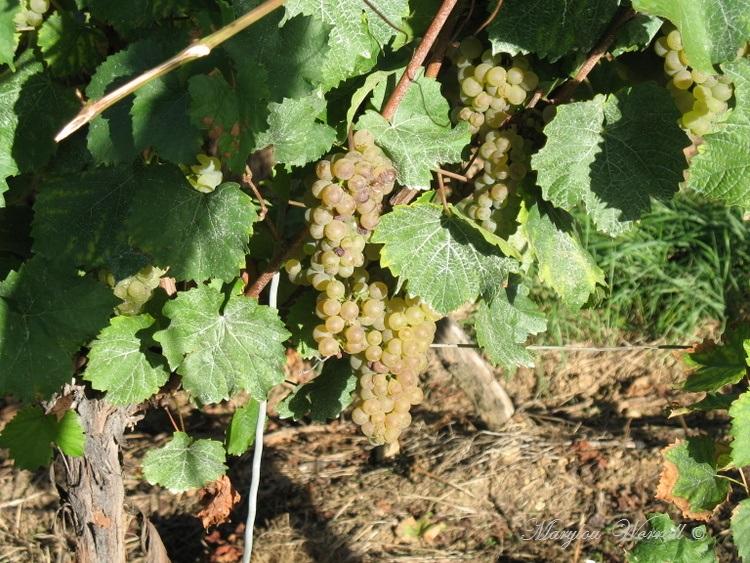 Beblenheim (68) : Vignoble