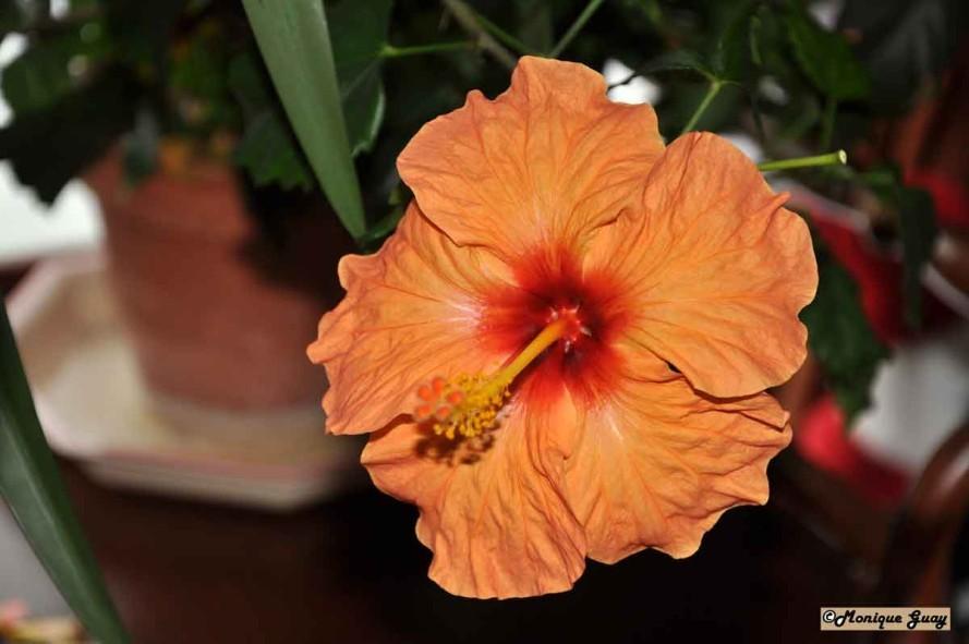 Floraison 0106-hibiscus-orange