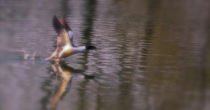 Portraits d'oiseau (3) : le harle bièvre