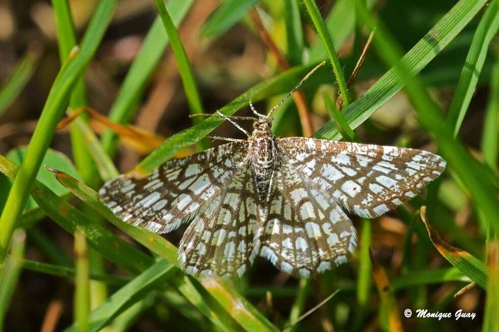 Papillons Phalènes rencontrés fin avril