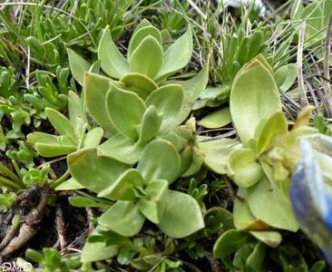 Gentiana alpina  -  gentiane alpine