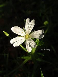 Stellaire holostée, stellaria holosta 3
