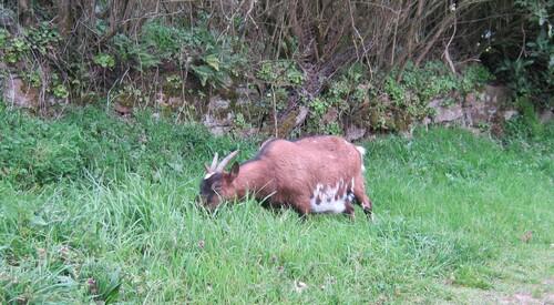 Chèvres résultoniennes en pension chez la Mort.