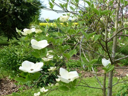 "Cornus d'éxeption ""Eddie's white wonder"""