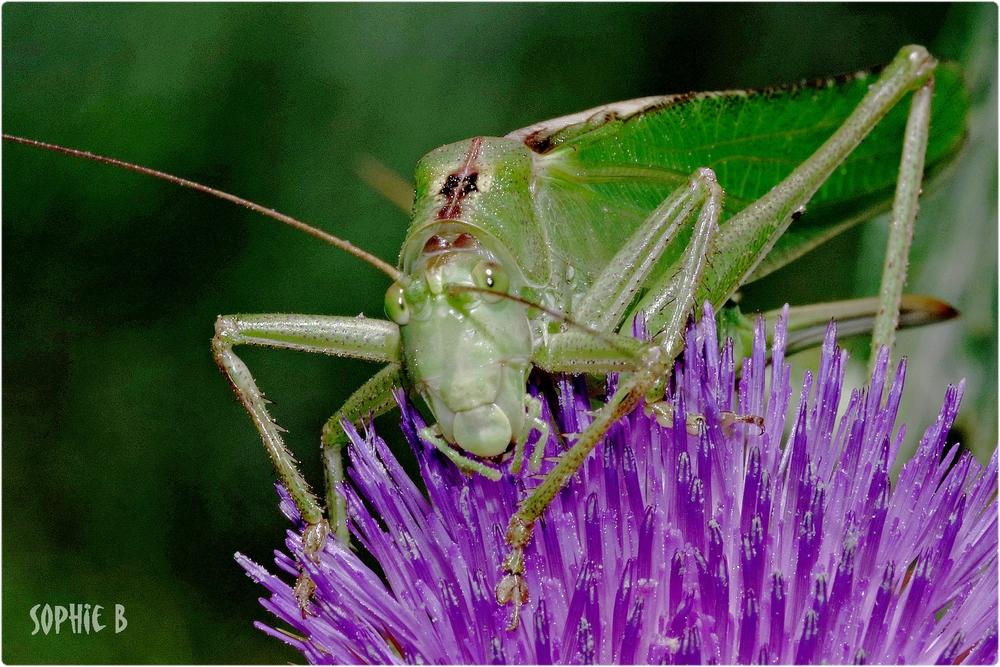Grande sauterelle verte .