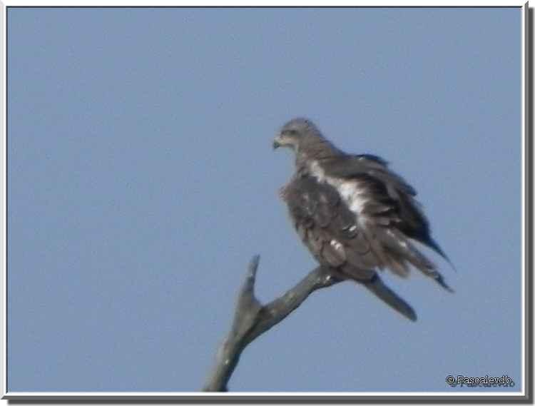 Parc ornithologique du Teich - buse variable