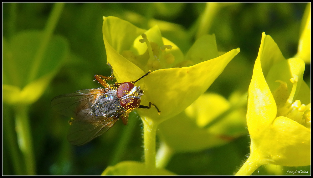 Pollinisation sur l'Euphorbia characias
