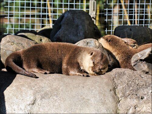 Photos des loutres du zoo de Pessac (Gironde)
