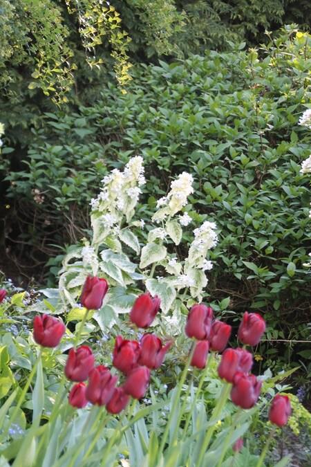 Lunaria variégata