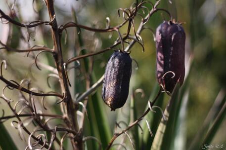 Fruits du Yucca