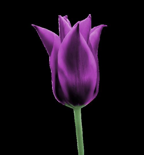 Fleurs ( tulpies )