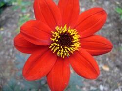Fleur de la fidélité